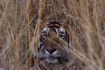 One of the tigers spotted during the President's tour of Ranthambhore National Park.
